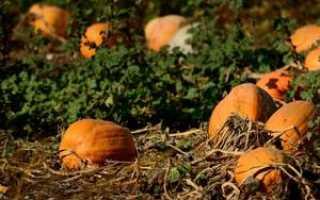 Выращивание тыквы на участке: важные правила по тыква ход + фото