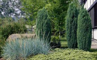 Можжевельник Хиберника: ТОП советы по выращиванию + фото