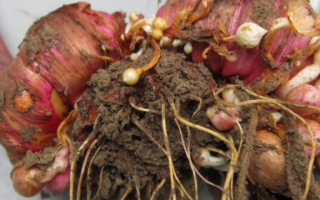 Выращивание луковиц гладиолусов из молодняка в домашних условиях: посадка и уход