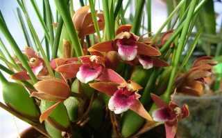 Максиллярия: описание, выращивание и уход + фото