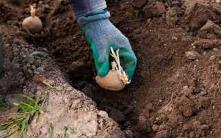 Посадка картофеля в грунт: важные правила!