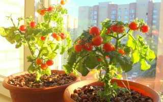 Томаты в квартире: 10 правил успешного выращивания