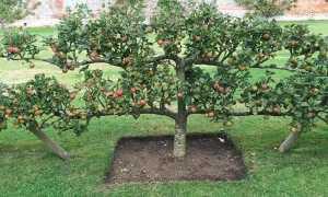 Яблоня стелющаяся: описание, руководство по выращиванию