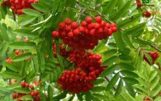 Выращивание рябины: ценные советы и рекомендации