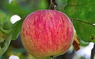 Осеннее полосатое яблоко – старинный сорт,признанный садоводами