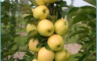 Как обрезать колоновидную яблоню: основные правила