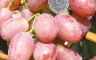 Виноград Анюта – описание сорта, уход, фото и видео