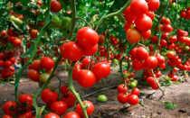 """Томат """"полным – полно"""" – что из себя представляет этот сорт помидор"""
