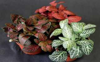 Фиттония: описание, выращивание и уход, разновидности + фото