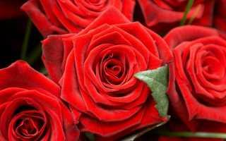 Чем опрыскивать розы весной после открытия