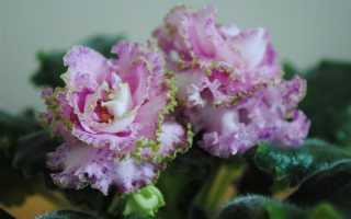 Фиалка Мария: описание, выращивание и уход + фото