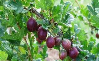 Крыжовник Колобок: описание ягоды и советы по уходу