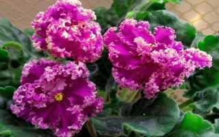 Фиалка Эсмеральда: описание, выращивание и уход + фото