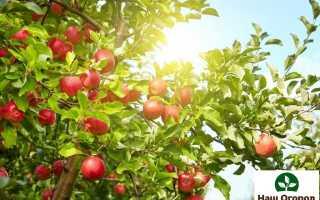 Виды яблок по созреванию: ТОП 4 вида