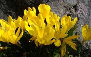 Штернбергия: посадка, уход, размножение, вредители и болезни | Садовники