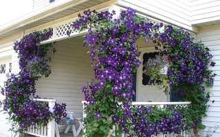 Клематис фиолетовый: описание, выращивание и уход + фото, отзывы