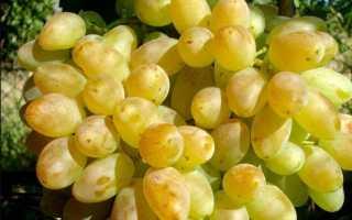 Виноград Столетие: важные правила выращивания + фото и отзывы