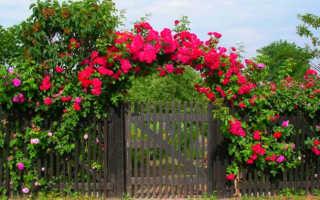 """""""Вечноцветущие"""" розы: лучшие сорта и правила ухода"""