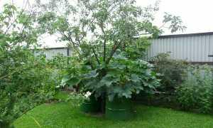 Выращивание тыквы в бочке: как вырастить правильно? ТОП советы