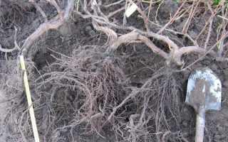 Какая корневая система у винограда: описание, строение, функционал