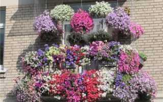 Выращивание петунии на балконе: особенности, выбор разновидности