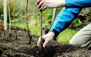 Посадка малины и уход за ней: основные правила и особенности