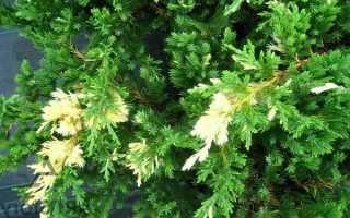 Можжевельник Экспанса Вариегата: описание сорта, выращивание