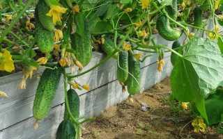 Подкормка борной кислотой помидоров и огурцов: особенности и правила