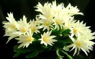 Рипсалидопсис: описание, выращивание и уход, разновидности