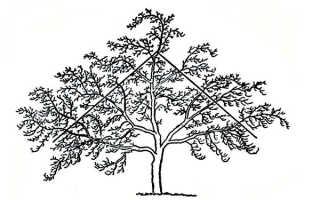 Летняя обрезка яблонь молодых, старых, описание + видео