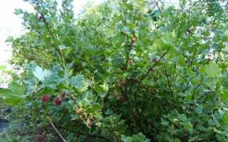 Пересадка крыжовника на новое место: как пересадить куст весной или осенью, дальнейший уход за растением