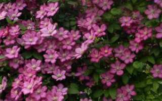 Крупноцветковые группы клематиса. Описание сортов