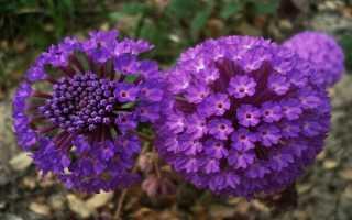 Аброния: описание, посадка и уход, выращивание дома