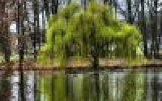 Ива: разновидности ивы и посадка на садовом участке
