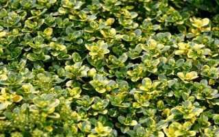 Тимьян лимонный: описание, посадка, выращивание из семян + фото