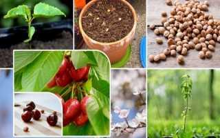 Семена и косточки для выращивания вишни – садим своими руками