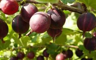 Крыжовник Арлекин – описание сорта, ТОП советов по выращиванию