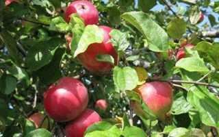 Яблоня Звёздочка: описание и характеристика сорта