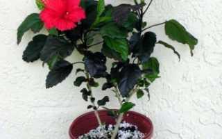 Китайская роза: самая подробная характеристика цветка
