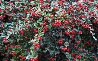 Вишня Кизиловая: описание, уход, выращивание + фото
