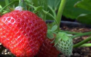 Выращивание ремонтантной клубники: посадка и уход