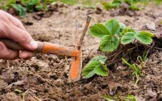 Урожай земляники: 5 шагов к богатому и вкусному урожаю