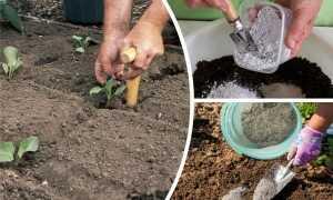 Посадка капусты в лунку: что посадить вместе с капустой