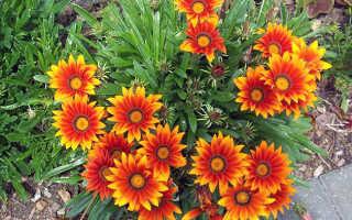 Гацания цветок- посадка, выращивание, уход + фото