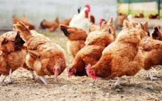 Разведение кур в избе: можно ли и как правильно делать новичкам; Интернет-портал о сельском хозяйстве