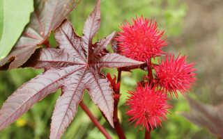 Ядовитые растения – десятка самых опасных представителей флоры