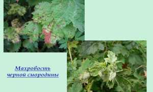 Махровость черной смородины – описание, что делать, лечение +фото