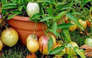 Пепино (18 фото): выращивание грушевой дыни