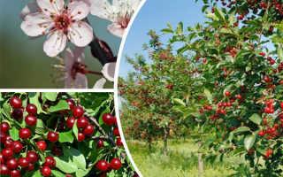 Уход за вишней – выращивание, обрезка +видео