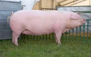 Порода свиней ландрас: описание с фото, разведение и кормление, отзывы